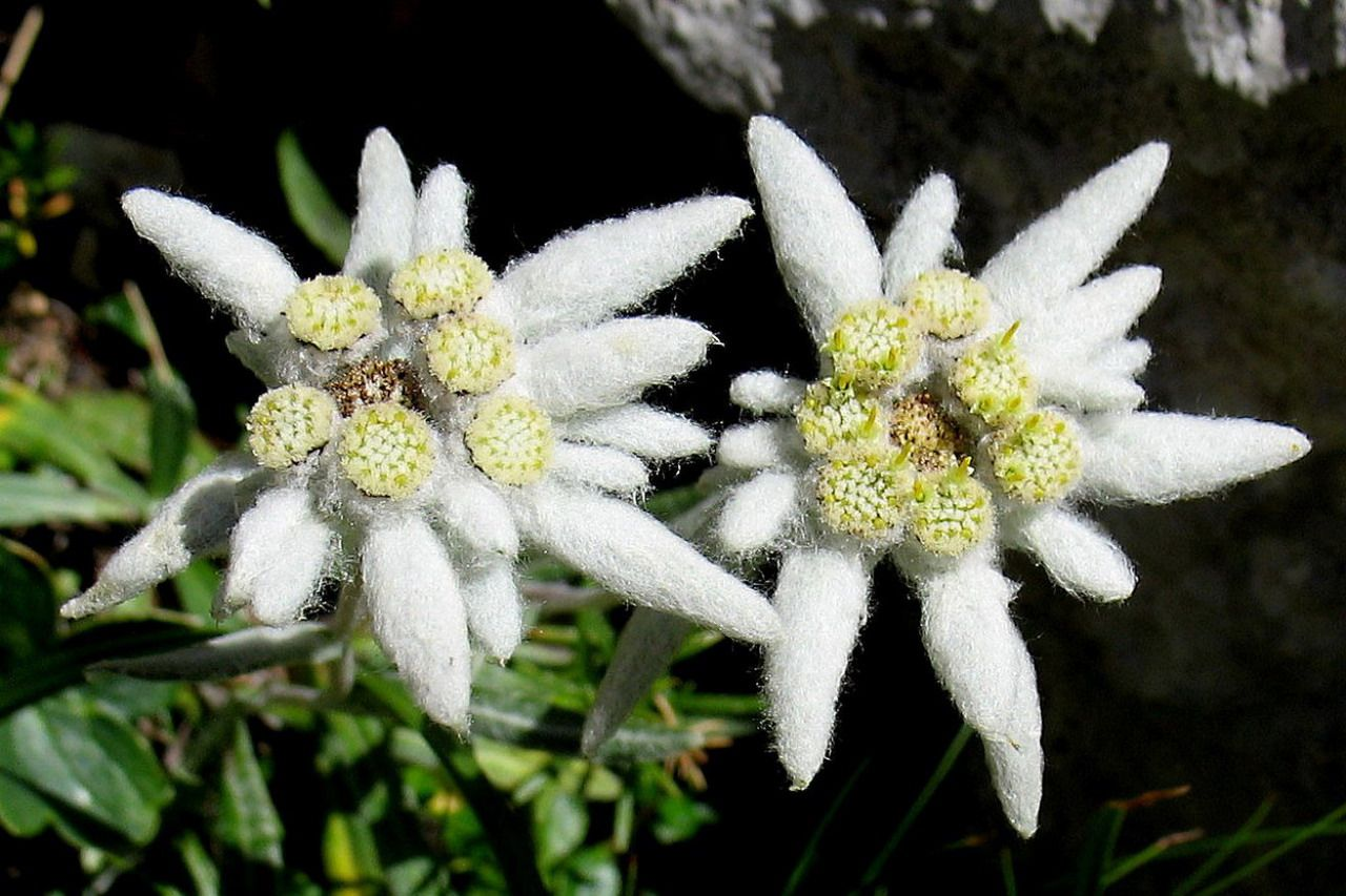 Edelweiss The National Flower of Switzerland