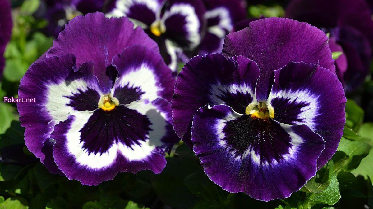 Фиолетовые виолы, фото, Анютины глазки (с изображениями ...
