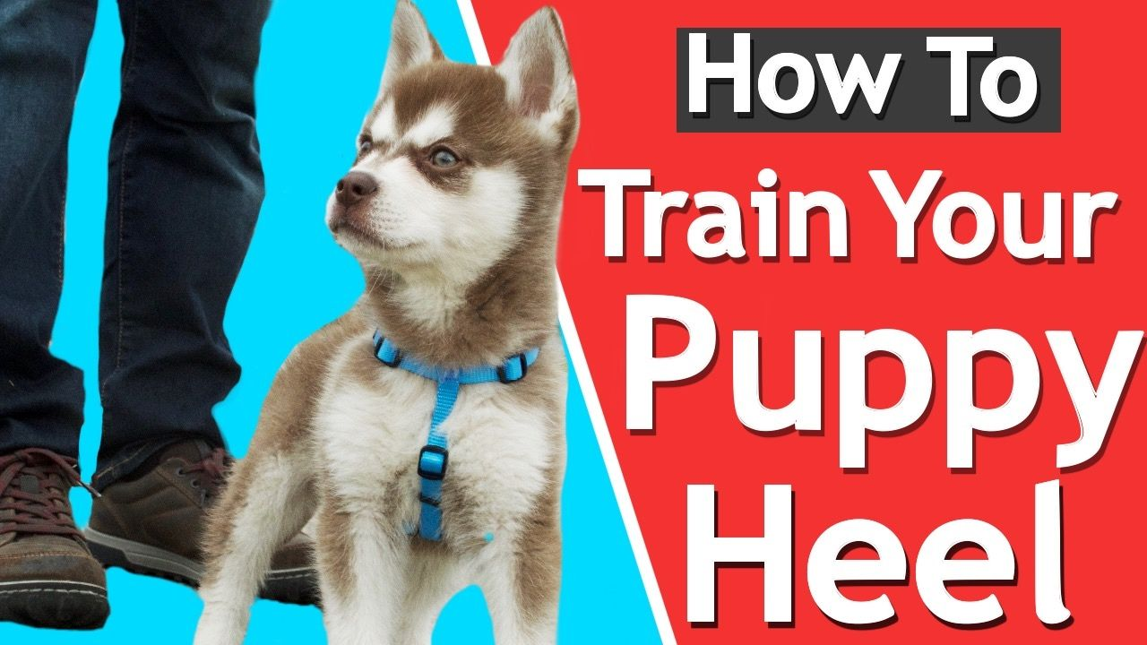 How to teach your puppy to heel dog training training