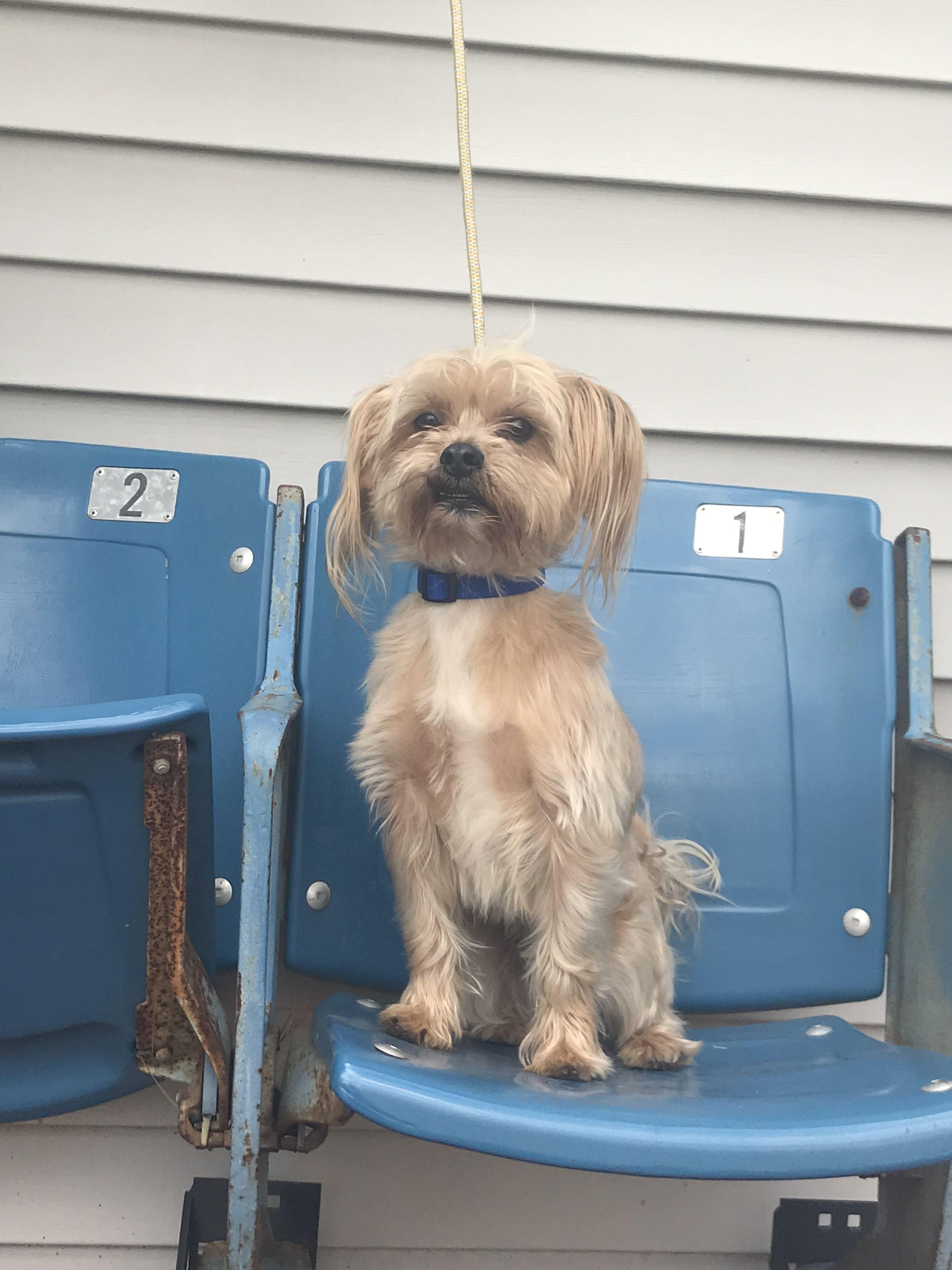 Adopt Buck on Terrier mix dogs, Cairn terrier, Silky terrier