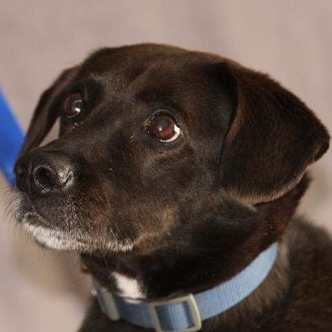 Adopt Logan On Labrador Retriever Pet Adoption Corgi Mix