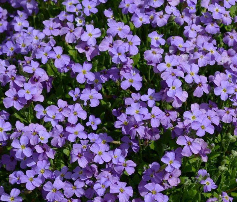 AubrietaCascadeBlue Flowers, Garden, Plants