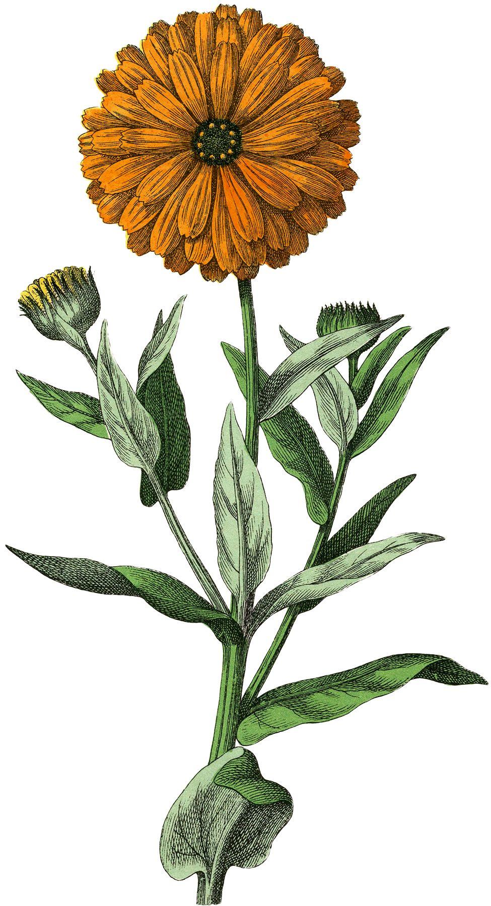 Botanical Marigold Image! Vintage drawing, Vintage