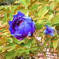 20 Samen/pack, Blumensamen Blaue Pfingstrose Seltene Paeonia Topf Hausgarten-anlagen
