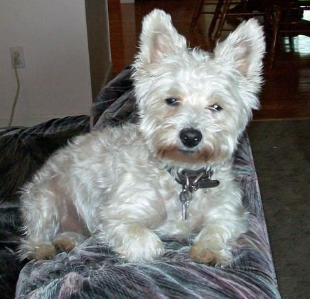 Bailey The West Highland Terrier Mix Dog Breed Poodle West