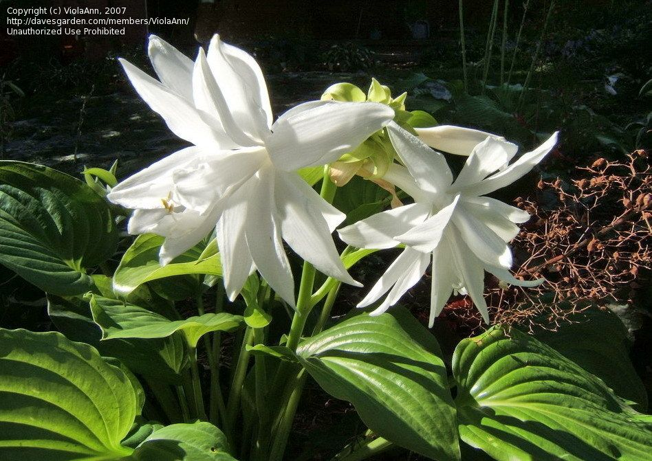 PlantFiles: Hosta 'Venus' (Hosta Plantaginea)