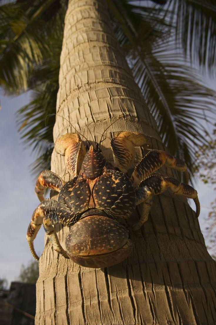 9 of the World's Most Unusual Animals: Giant Coconut Crab