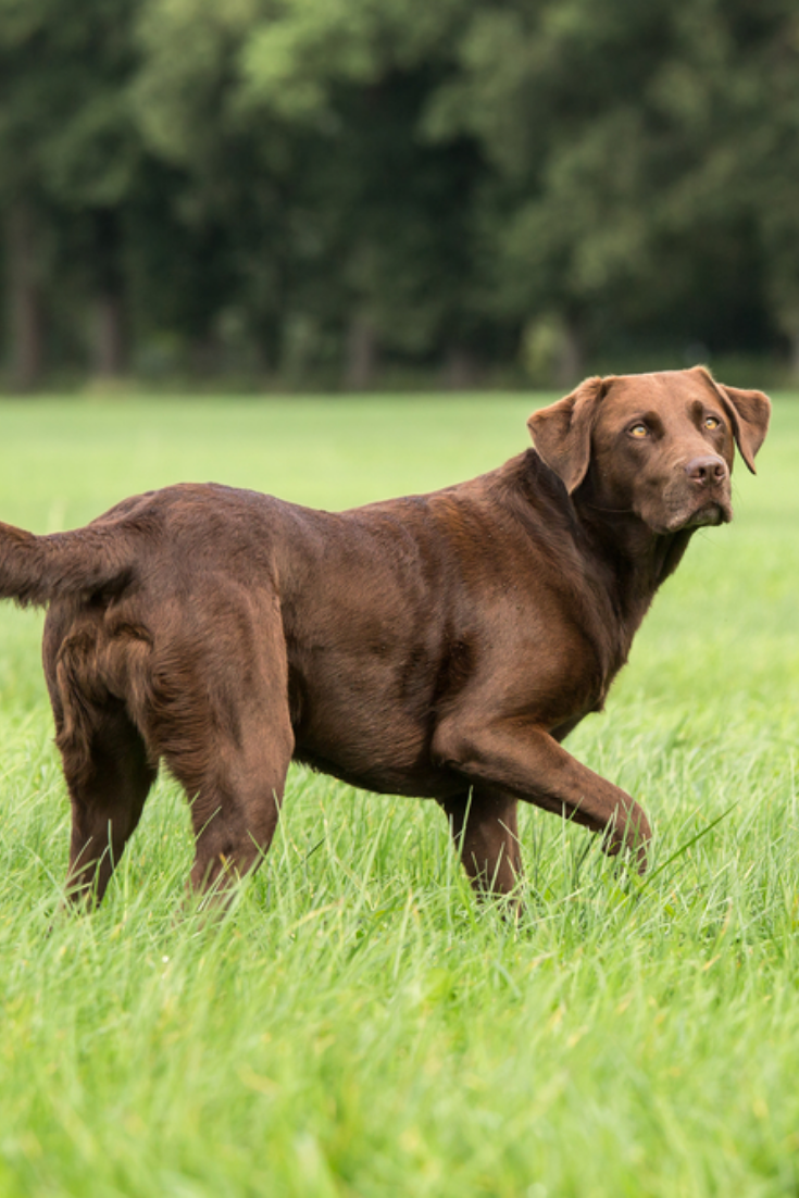 Dog Stands In The Field Labradorretriever With Images Labrador Retriever Golden Retriever Labrador Labrador