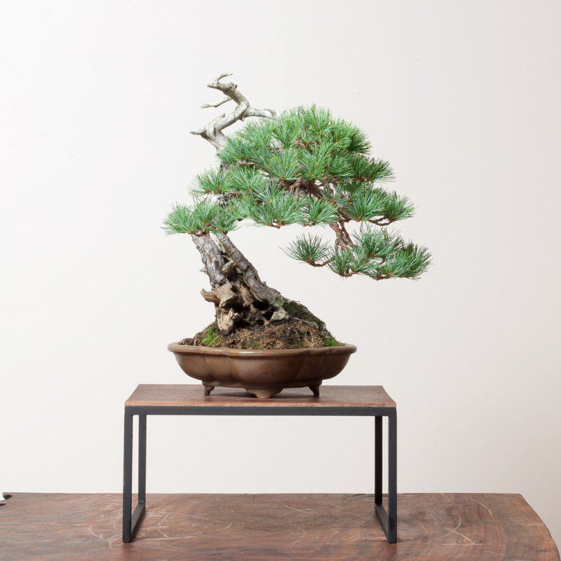 bonsai baum kaufen und richtig pflegen einige wertvolle tipps zimmerpflanzen pinterest. Black Bedroom Furniture Sets. Home Design Ideas