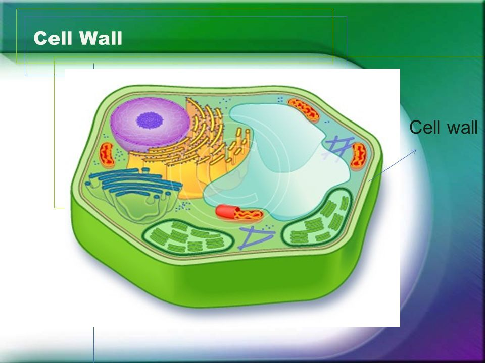 plant cell wall structure function plant cell cell on cell wall function id=83819