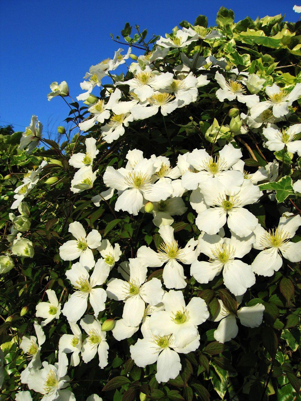 Nombre latín clematis montana nombre común clematide espectacular
