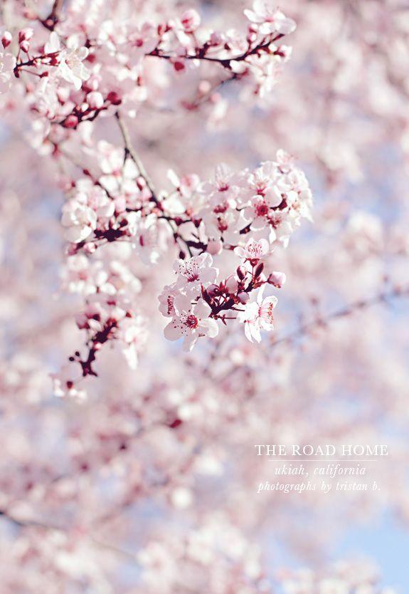 Spring Cherry Blossom Tree Cherry Blossom Blossom