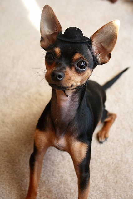 Quote Chihuahua Avec Un Petit Chapeau Sur La Tete Cute Dogs Cute Animals Chihuahua Puppies