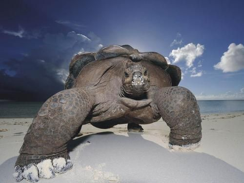 old turtle on the beach by Cowboy.