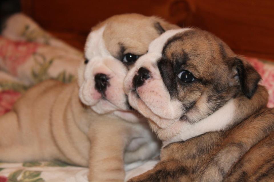 Sweetness Posted On I Love English Bulldogs Bulldoggieness