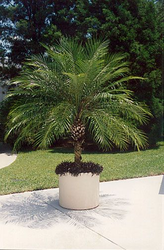 Phoenix Roebellini Pygmy Date Palm Grows To 15 High Good For