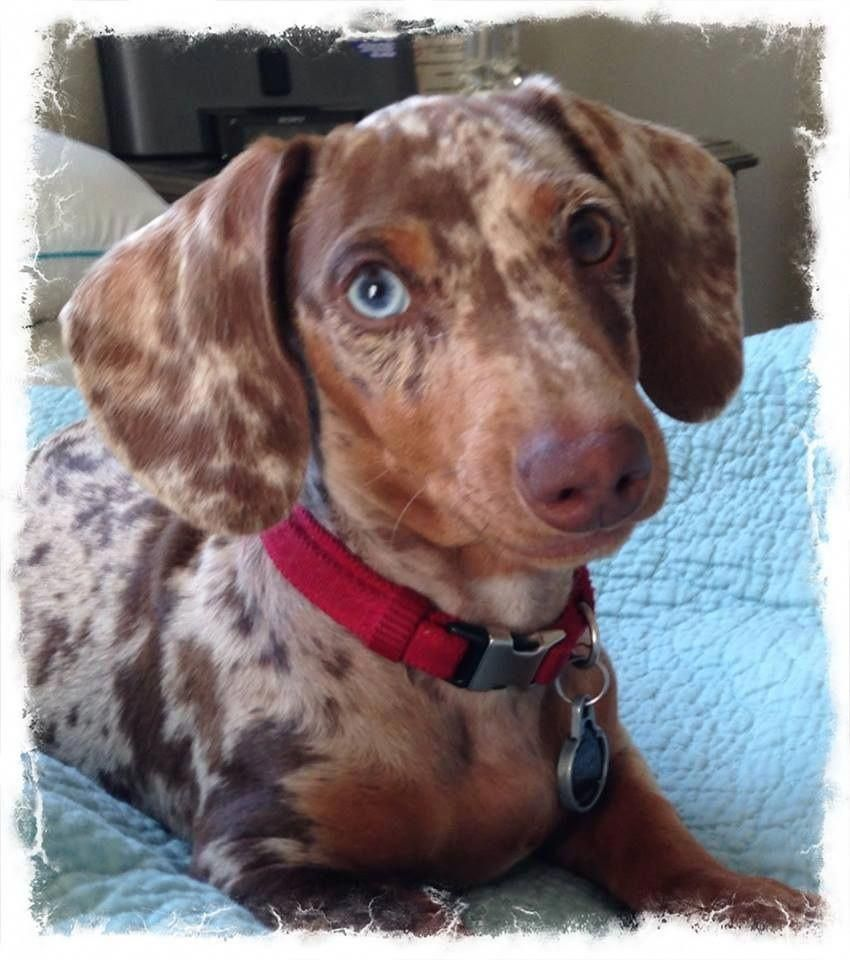 Discover The Spunky Daschund Pups Health Daschundgirl