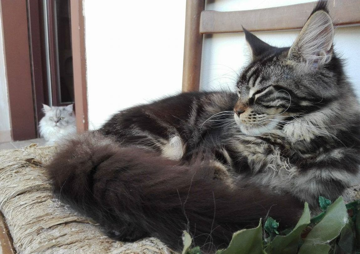 Baloo kitty maine coon cat brown tabby blotched male 6