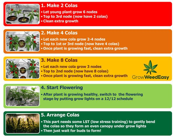 Diagram Basics Steps Of Main Lining Cannabis Plant From Seed Using