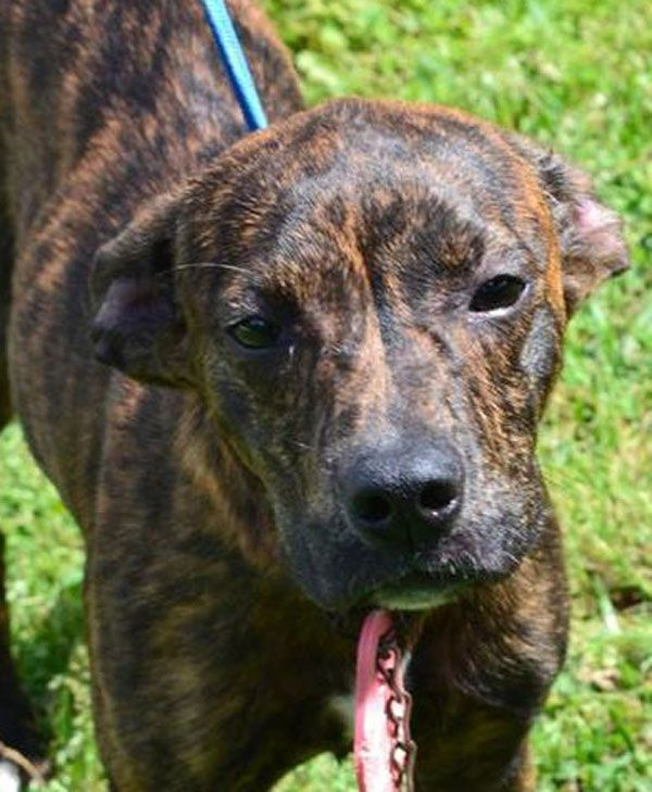 Dixie Ad 05 15 17 Dogs Rescue Dogs Mountain Cur Dog