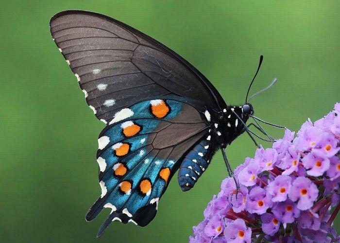 From Caterpillar to Butterfly        Battus philenor