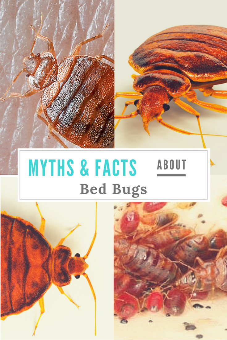 bed bugs surprising may common what about and articles bug facts know advertising you infographic myths lifestyle not debunked