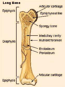 longitudinal bone diagram proximal distal epiphyses epiphyseal