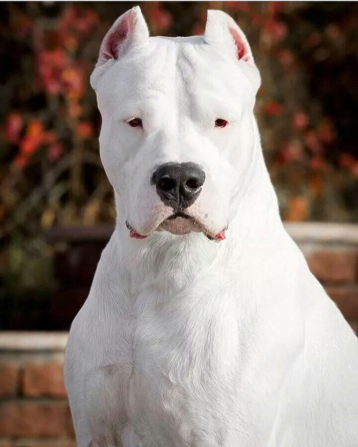 Dogo Argentina Dog Argentino Dog Breeds Beautiful Dogs