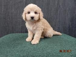 Just Labs Kennels Home Of Labs And Labradoodles Of Southeast