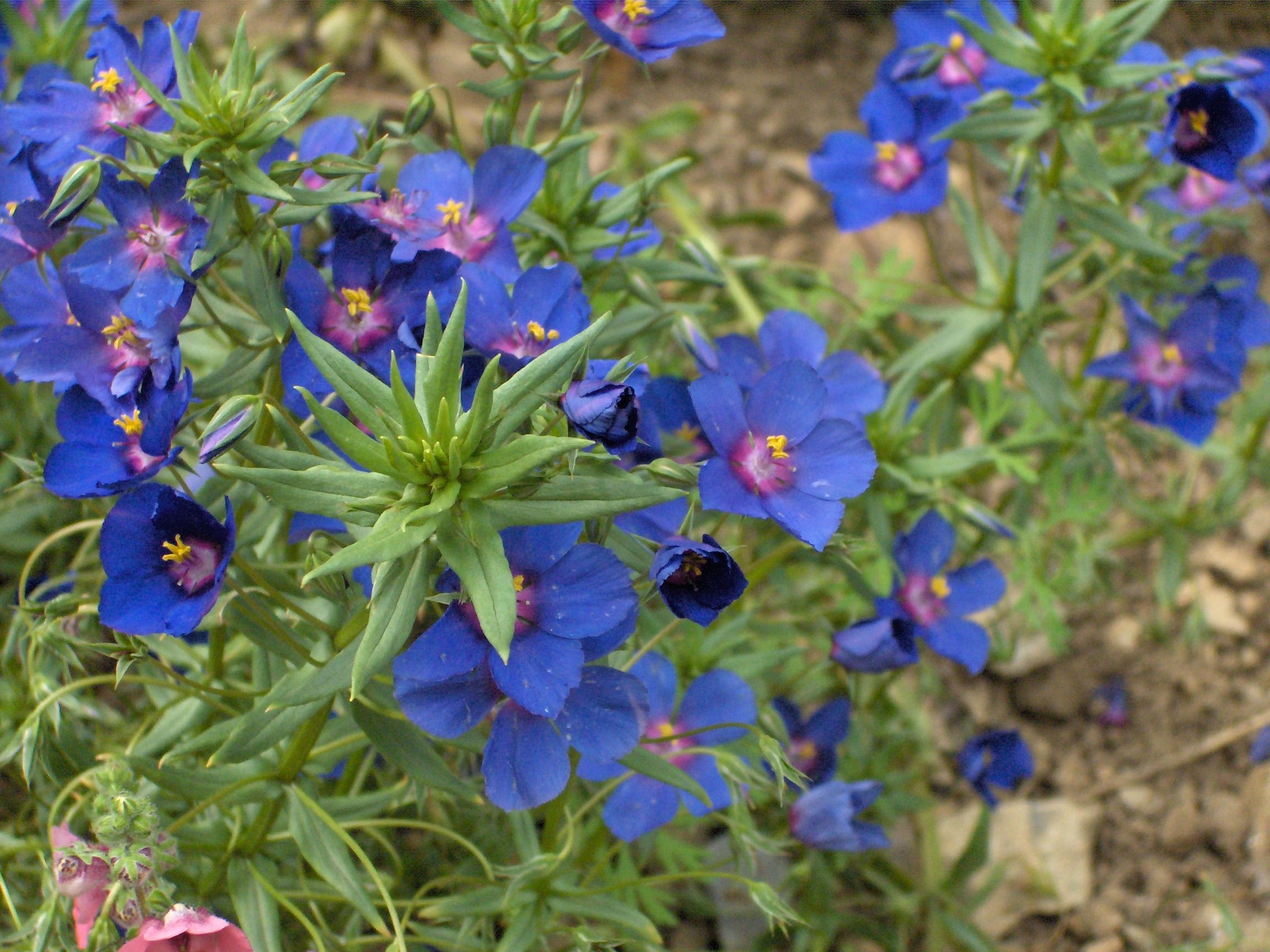 Lysimachia Monelli Commonly Known As The Blue Pimpernel And