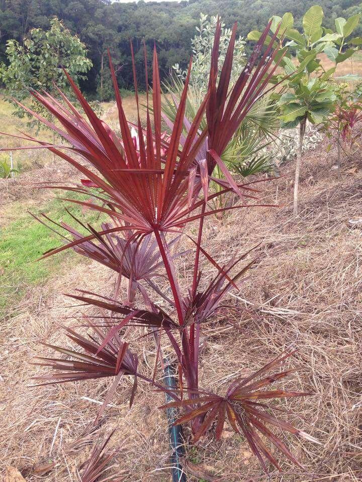 livistona mariae palmiers pinterest planter un. Black Bedroom Furniture Sets. Home Design Ideas