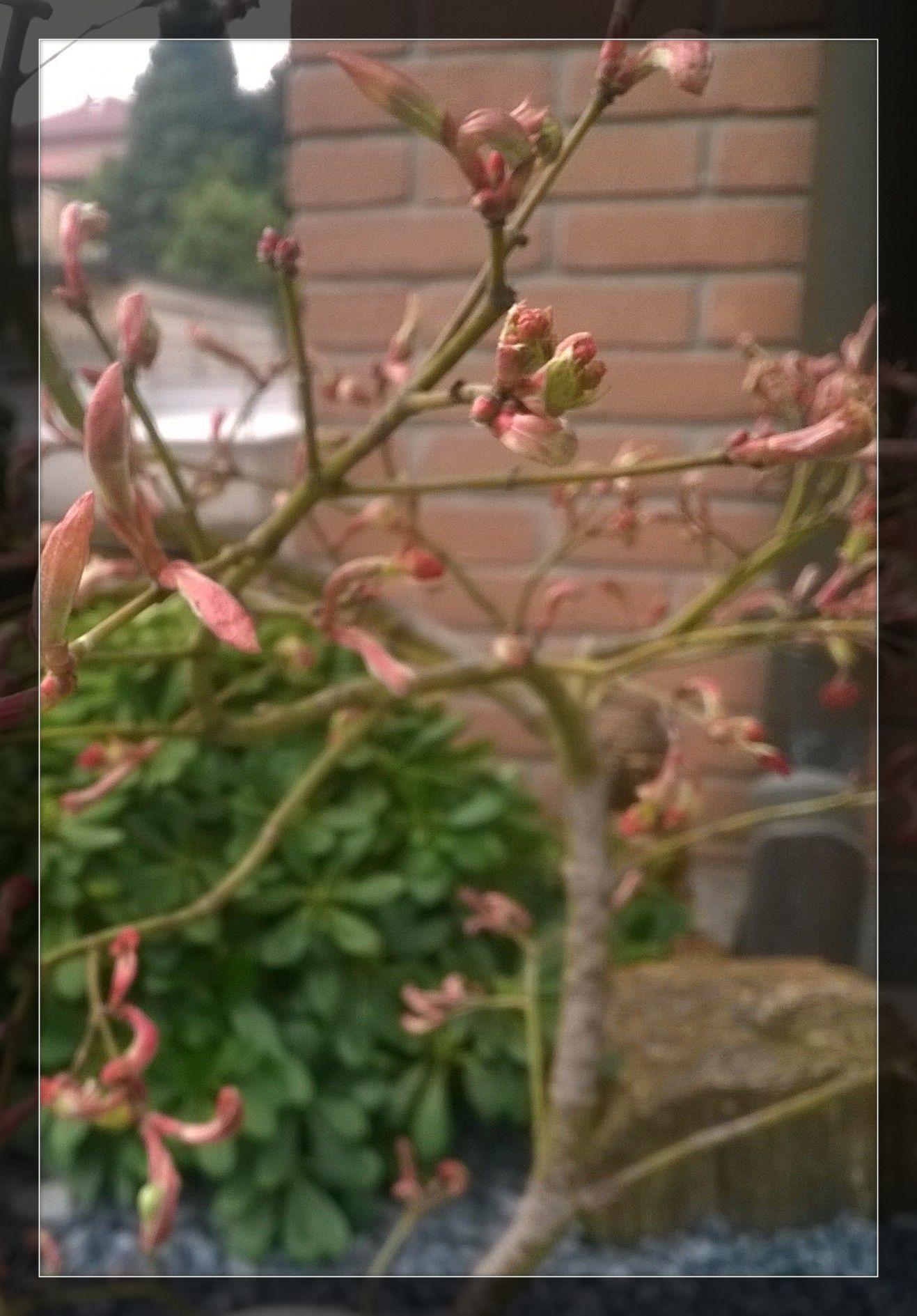 ... e mentre il piccolo Acer dissectum è pronto all'apertura delle sue gemme .....