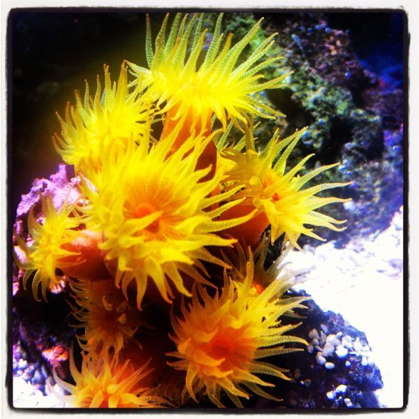 SunCoral - Non-photosynthetic. Need To Be Fed.