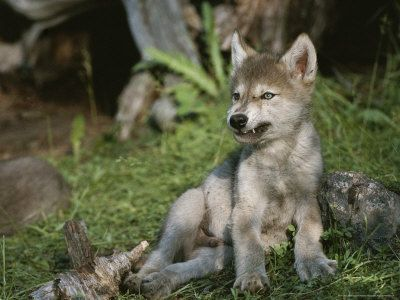 Baby Wolves | baby wolf puppy | Wolves | Pinterest | Baby ...