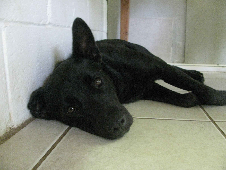 Craigslist Atlanta Pets Doberman Puppies - Wayang Pets