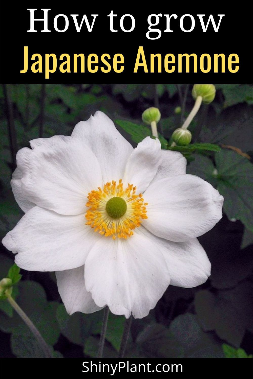How To Grow Japanese Anemone In 2020 Perennial Plants Japanese Anemone Plants