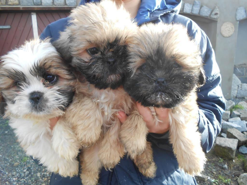 Beautiful Litter Of Shih Tzu Puppies Rathfriland Gumtree Shih