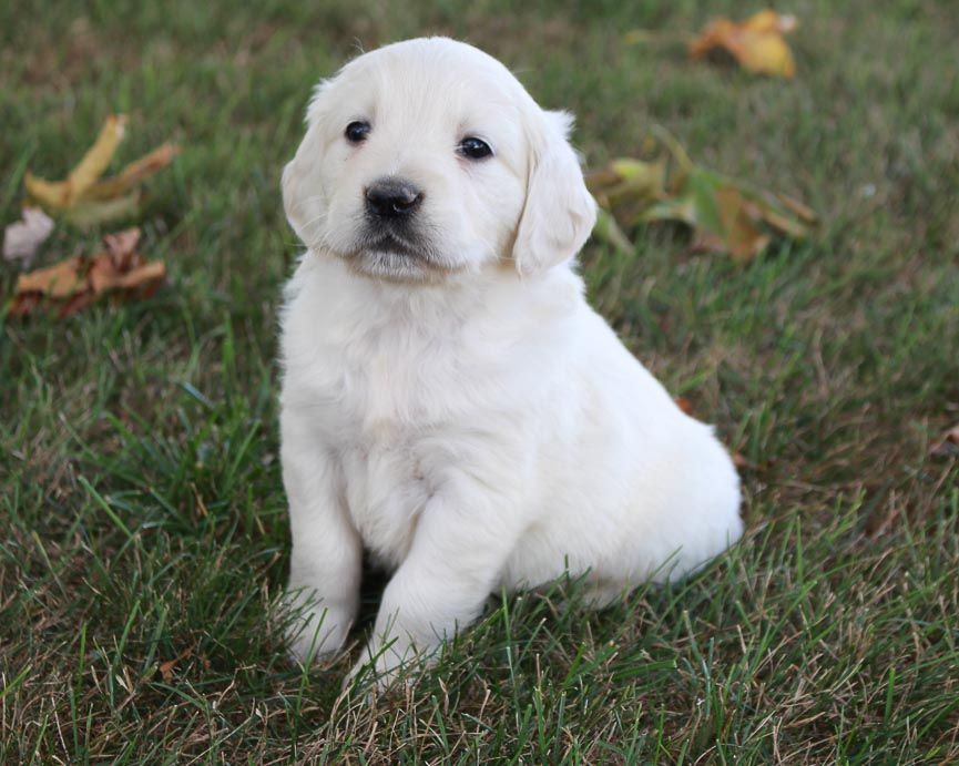 Zoey Female Golden Retriever Pups In Grabill Indiana Female