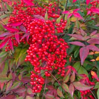 Nandina Domestica, Heavenly Bamboo, Sacred Bamboo, Nandina, Chinese Sacred Bamboo, Evergreen Shrubs, Shrubs with berries