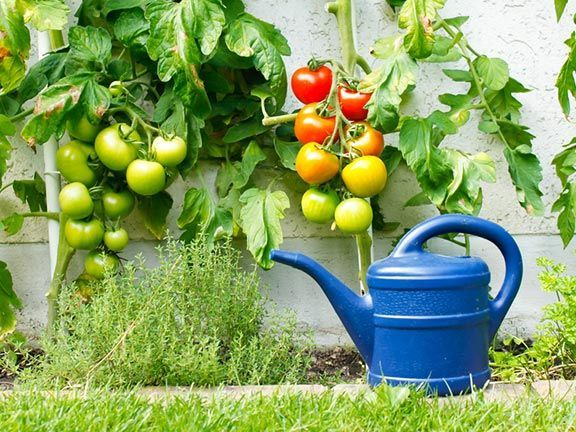 gr ne tomaten nachreifen lassen gardening and fun kitchen garden pinterest. Black Bedroom Furniture Sets. Home Design Ideas