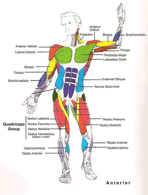 Muscles Diagrams Diagram Of Muscles And Anatomy Charts Pinterest