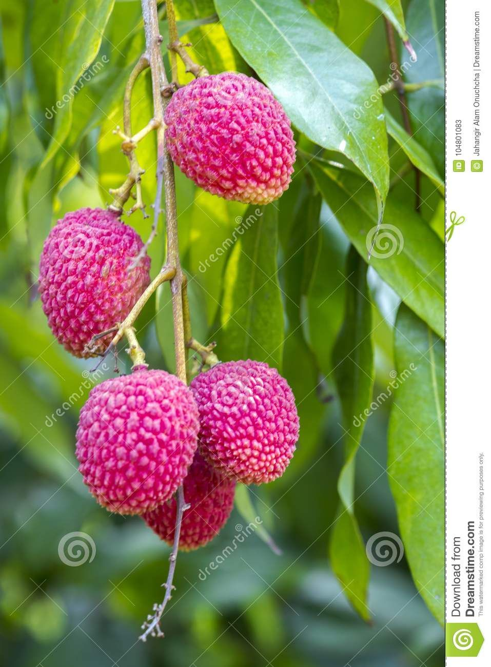 10pcs Fresh Lychee Litchi Seeds Rare Delicious Sweet Seasonal Fruit Tree Bonsai Factories And Mines Yard, Garden & Outdoor Living Home & Garden