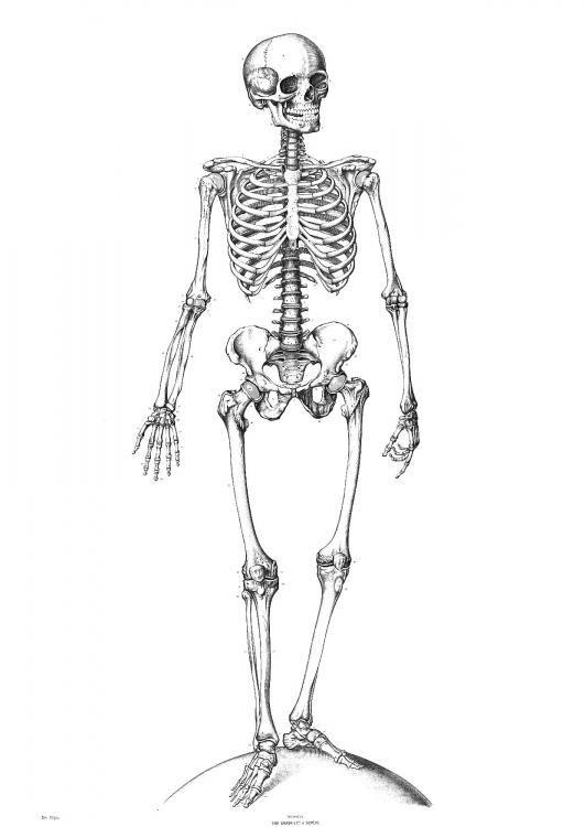 skeleton | Bones | Pinterest | Huesos, Calaveras y Anatomía