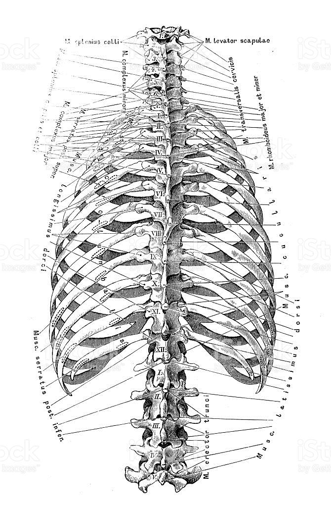 Human anatomy scientific illustrations with latin/italian labels ...