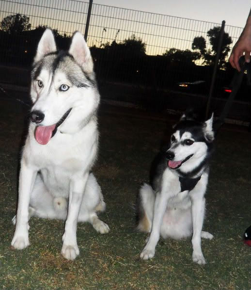 Husky And Akk Comparison Akks Come In Three Sizes Toy Miniature