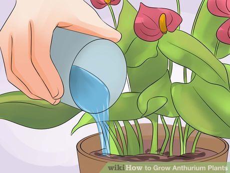 How To Grow Anthurium Plants Anthurium Plant Plant Care Houseplant Anthurium Flower