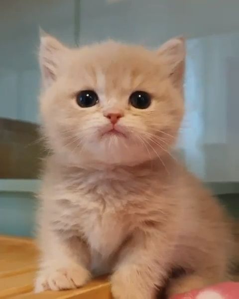 Cute Kitten Meowing Cute Kitten Meowing and making adorable noises #adorablekitt... -  Cute Kitten Meowing Cute Kitten Meowing and making adorable noises #adorablekittens Cute Kitten Meo - #Adorable #adorablekitt #allergictocats #catcat #cattattoo #catwallpaper #catsandkittens #crazycats #Cute #dogcat #Kitten #Making #Meowing #noises #petscats