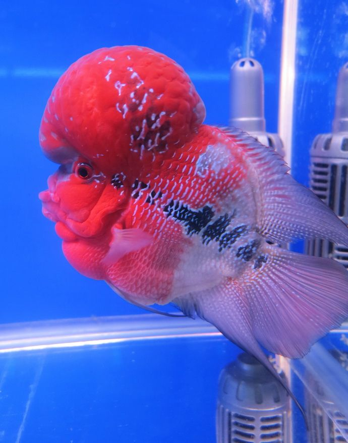 ป กพ นในบอร ด Flowerhorn Crossbreed Fish ปลาหมอส ฟลาวเวอร ฮอร น