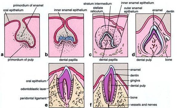 Basic Terms In Tooth Growth Development Dental Anatomy And Tooth