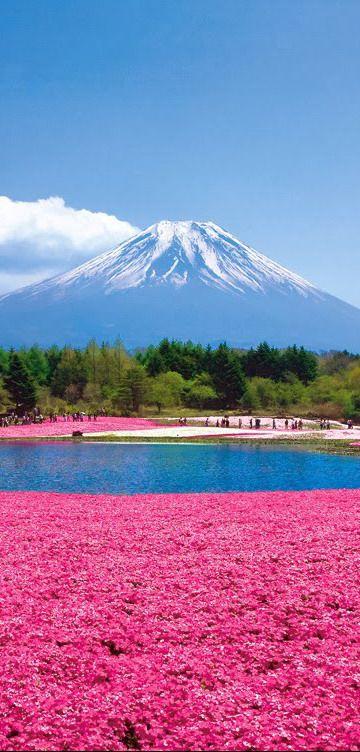 Field of Shibazakura Moss Pink with Mount Fuji in Japan